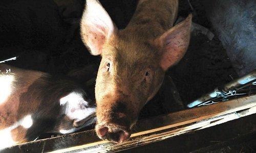чума свиней в беларуси