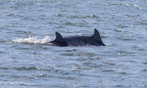 Дельфины на Балтике
