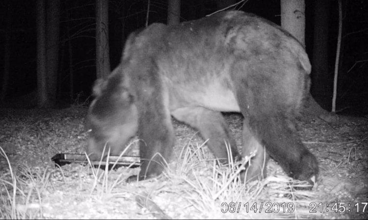 Медведь в Беловежской пуще