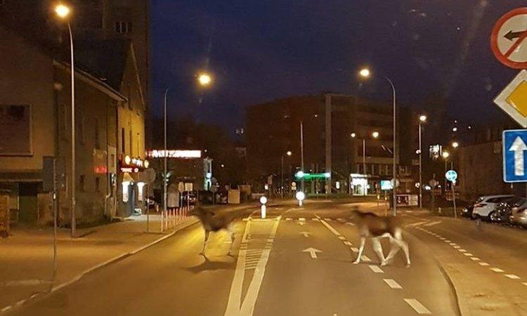 По Белостокy гуляют лоси